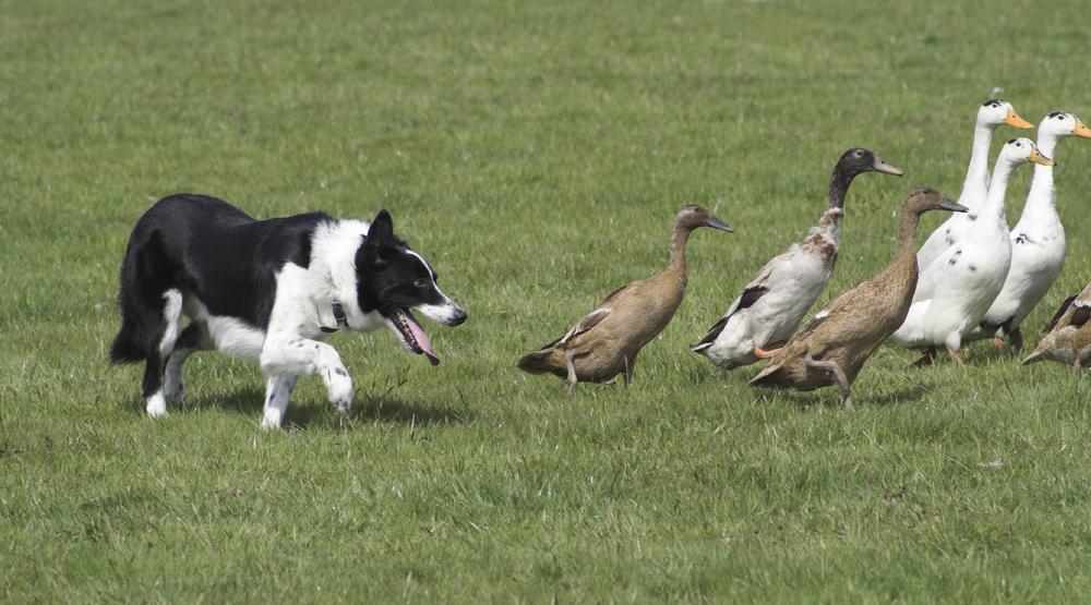 Dog herding ducks