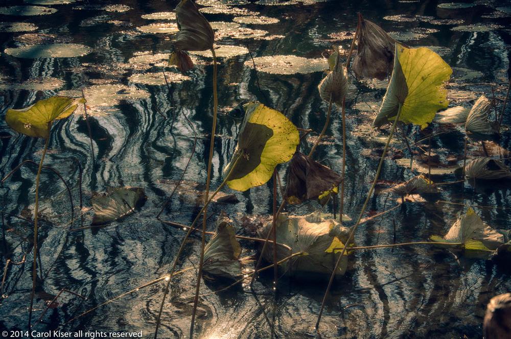 lotus glendale.jpg