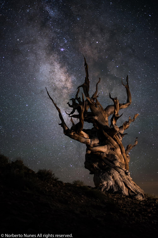 DSC_4558 (Bristle Cone Pine Tree MW)BPC Gallery.jpg