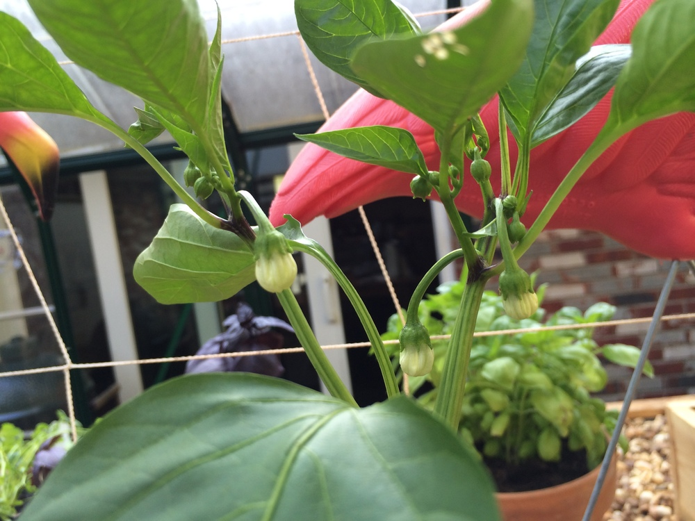 {Eager chocolate bell peppers ready to break out into the world from behind those flowers.}