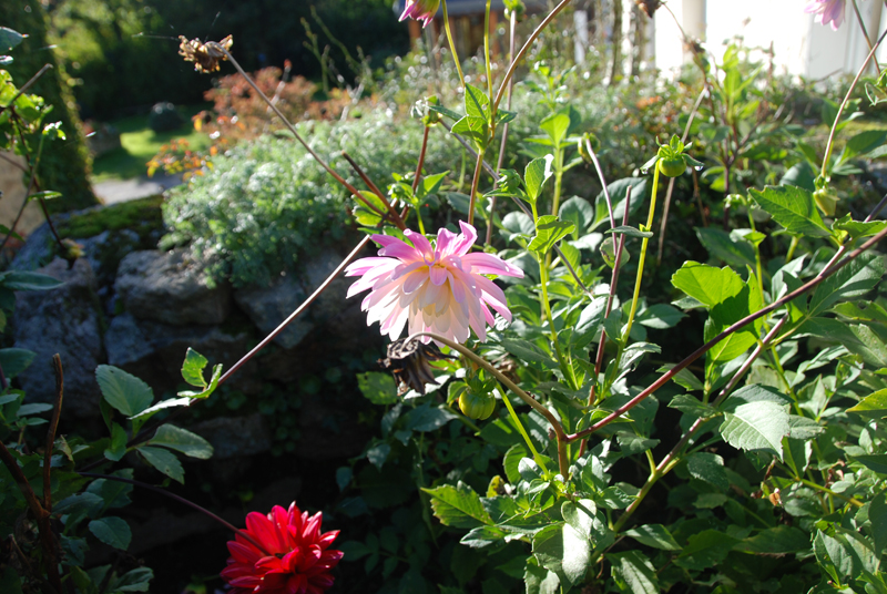 55 year old stock dahlia grown from a rhizome kindly donated to me from my french neighbours ancient garden...picture taken today...6pm