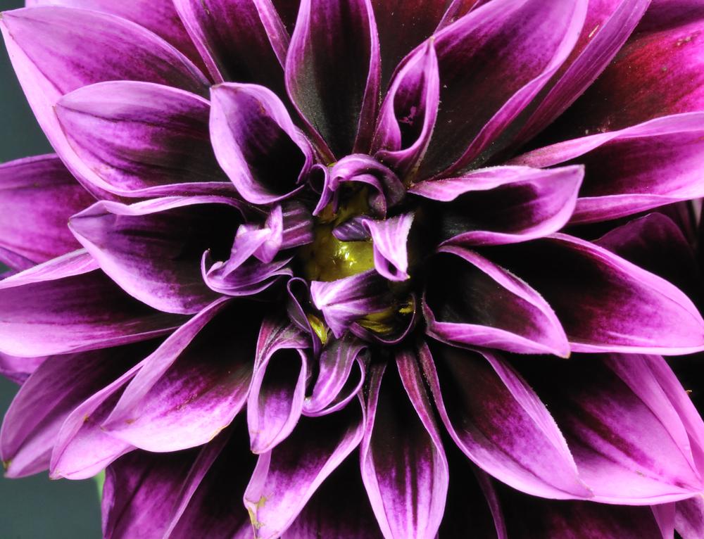 purple_dahlia.jpg