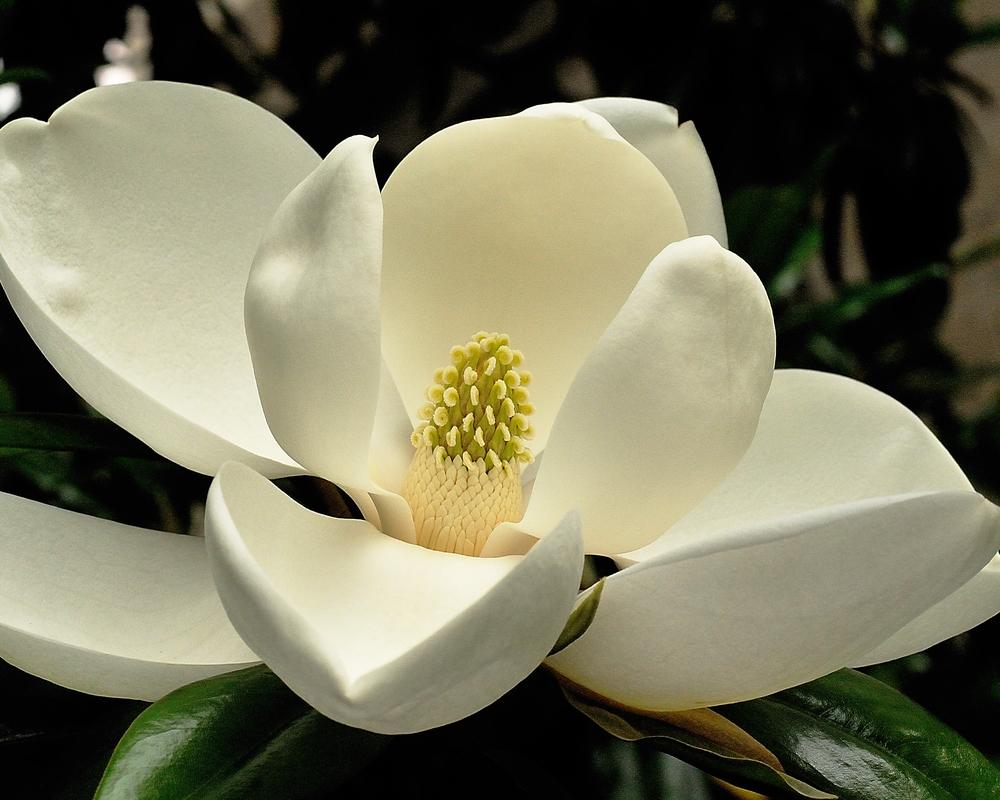 magnolia_004.jpg