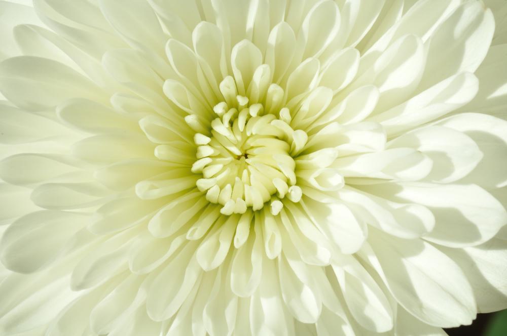 white_mum.jpg
