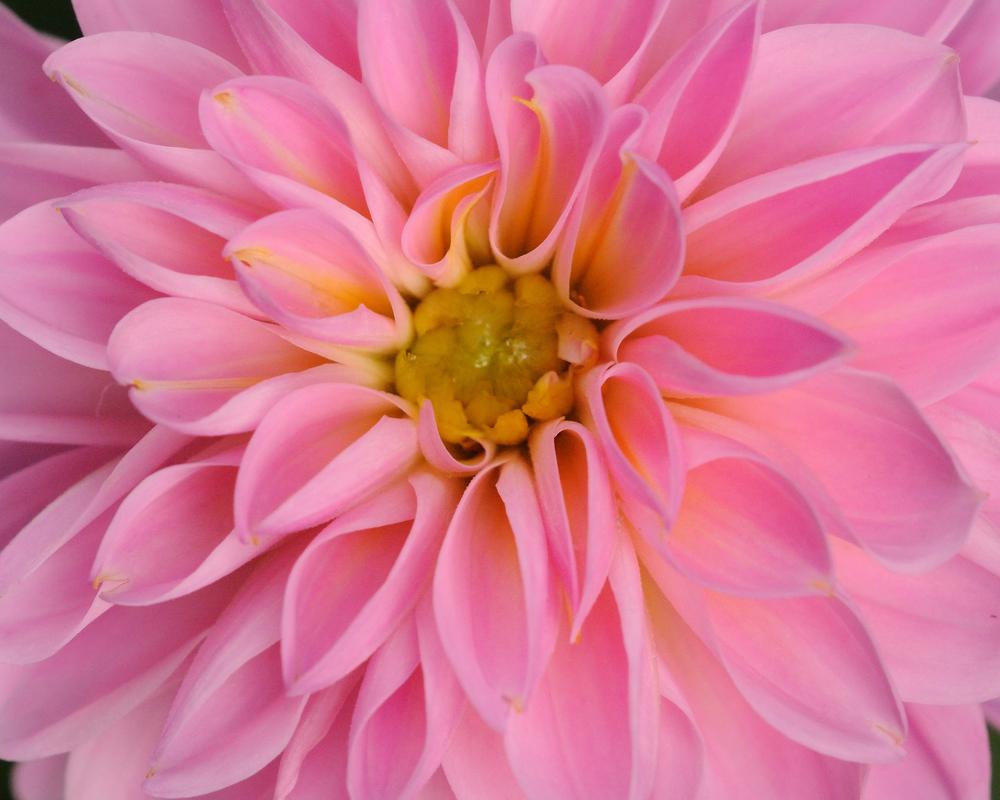 pinkdahlia_002.jpg