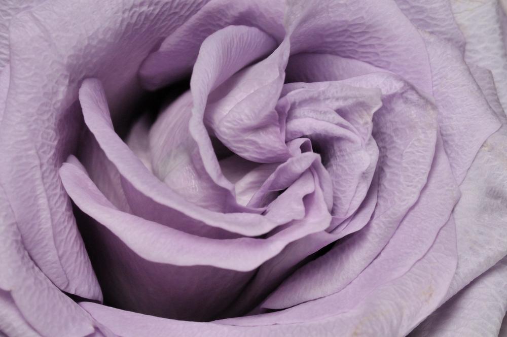 lavendar_rose_lit.jpg