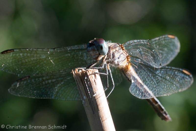 dragonfly-5633.jpg