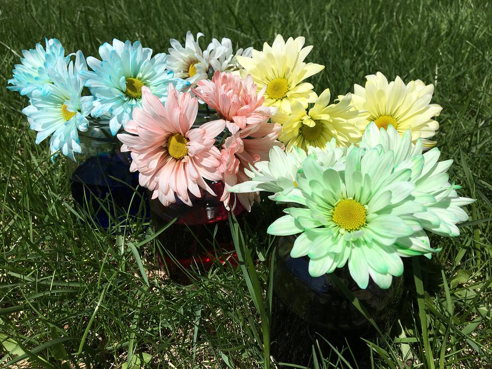 marguerites colorées-fleurs-fêtes des Mères-Bouquet pour maman-colorer des fleurs avec du colorant alimentaire-Je suis une maman-Maman Bricole