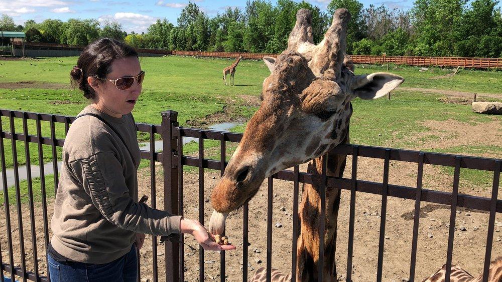 rencontre avec une girafe-parc safari-montérégie-sortie en famille-escapade-Hemmingford-enfants-animaux-Je suis une maman