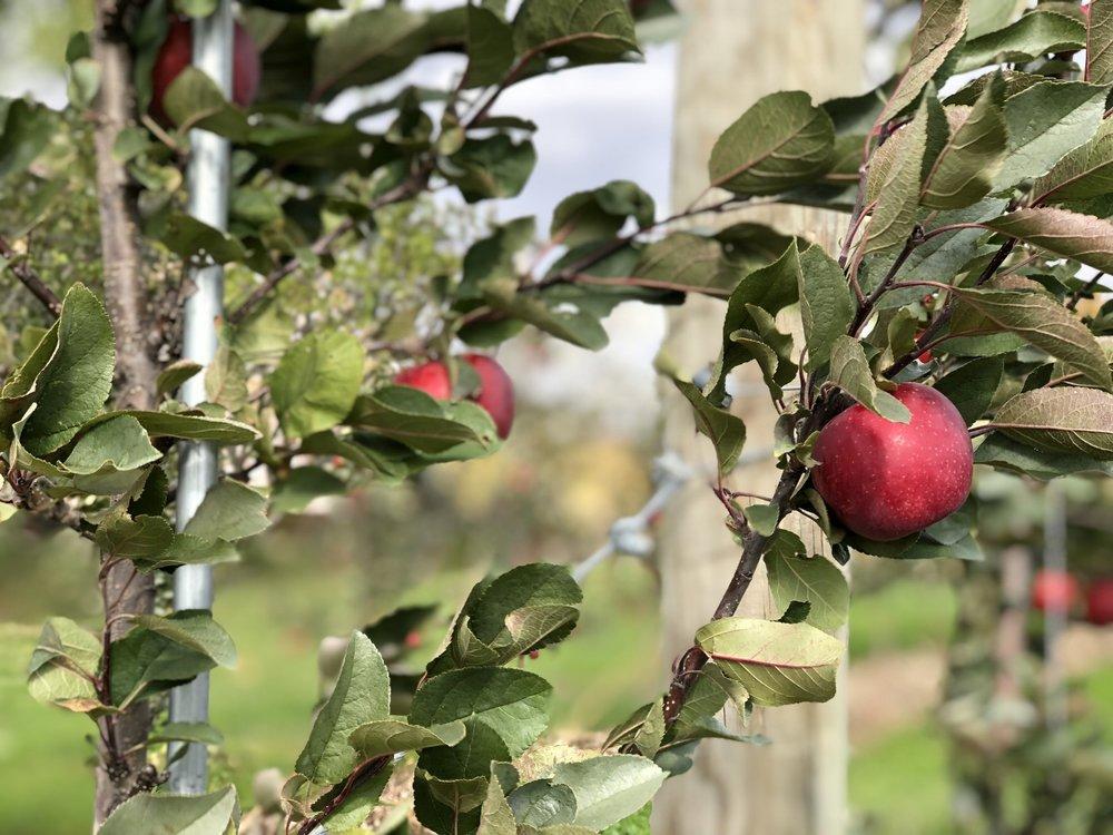 Nouvelle pomme-Ariane-Nouvelle variété de pomme - autocueillette- automne-verger-Montérégie-Hapi-Je suis une maman