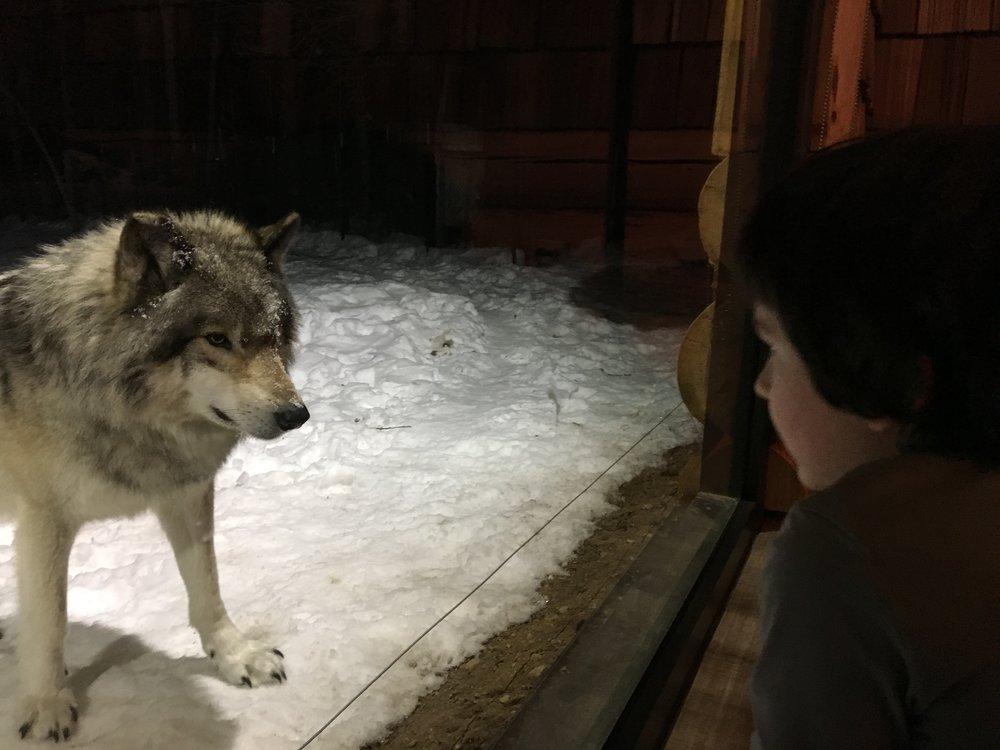 Les yeux dans les yeux, c'est le cas de le dire! Le loup était probablement en train d'évaluer de quelle façon il pourrait dévorer mon grand haha!.JPG