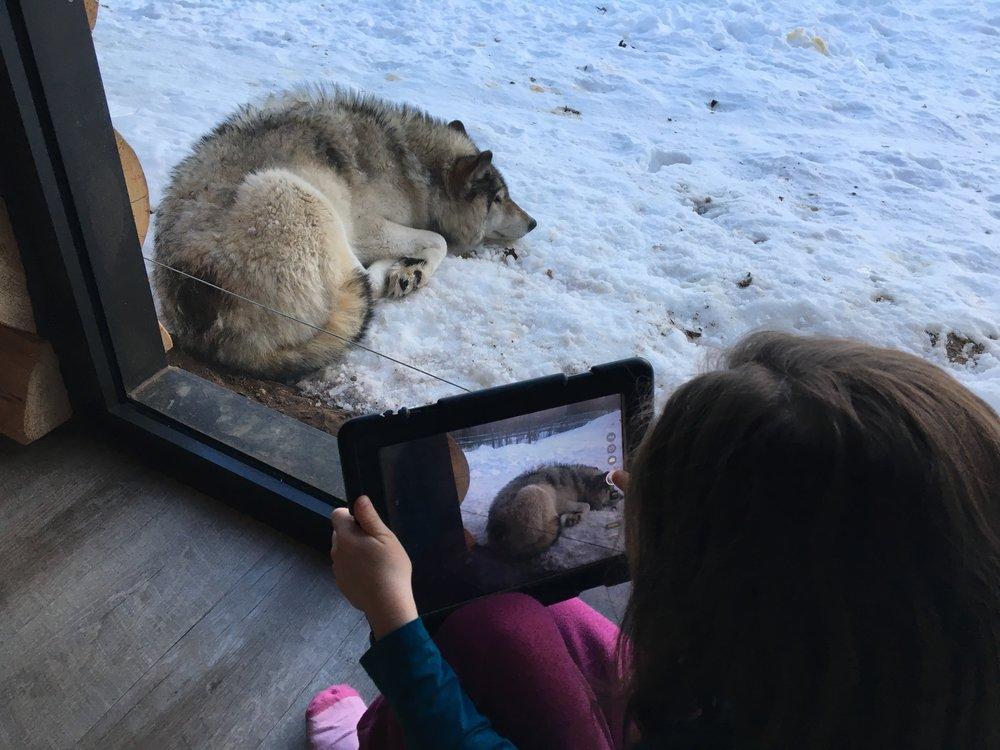 Ma grande de 6 ans a du prendre 500 photos de loups... Pour la petite histoire, celui-ci est l'omega de la meute. Toujours en retrait, un peu abimé par la vie. Nous avons apris que chaque loup a son rang..JPG