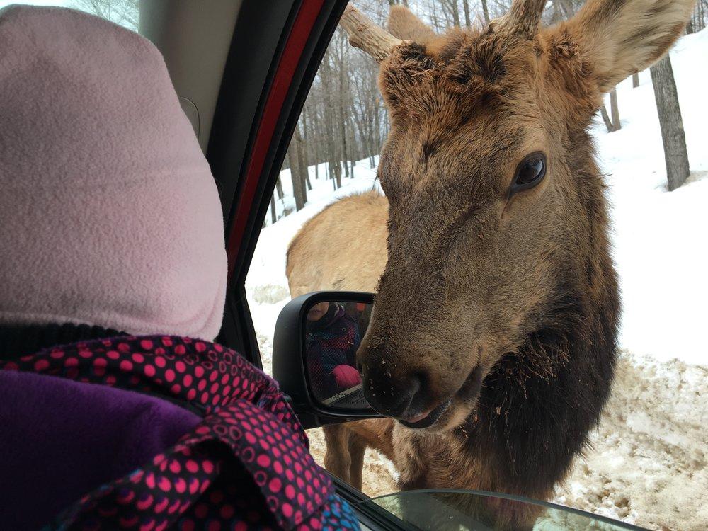 Beaucoup d'animaux à nourir sur le parcours en voiture..JPG