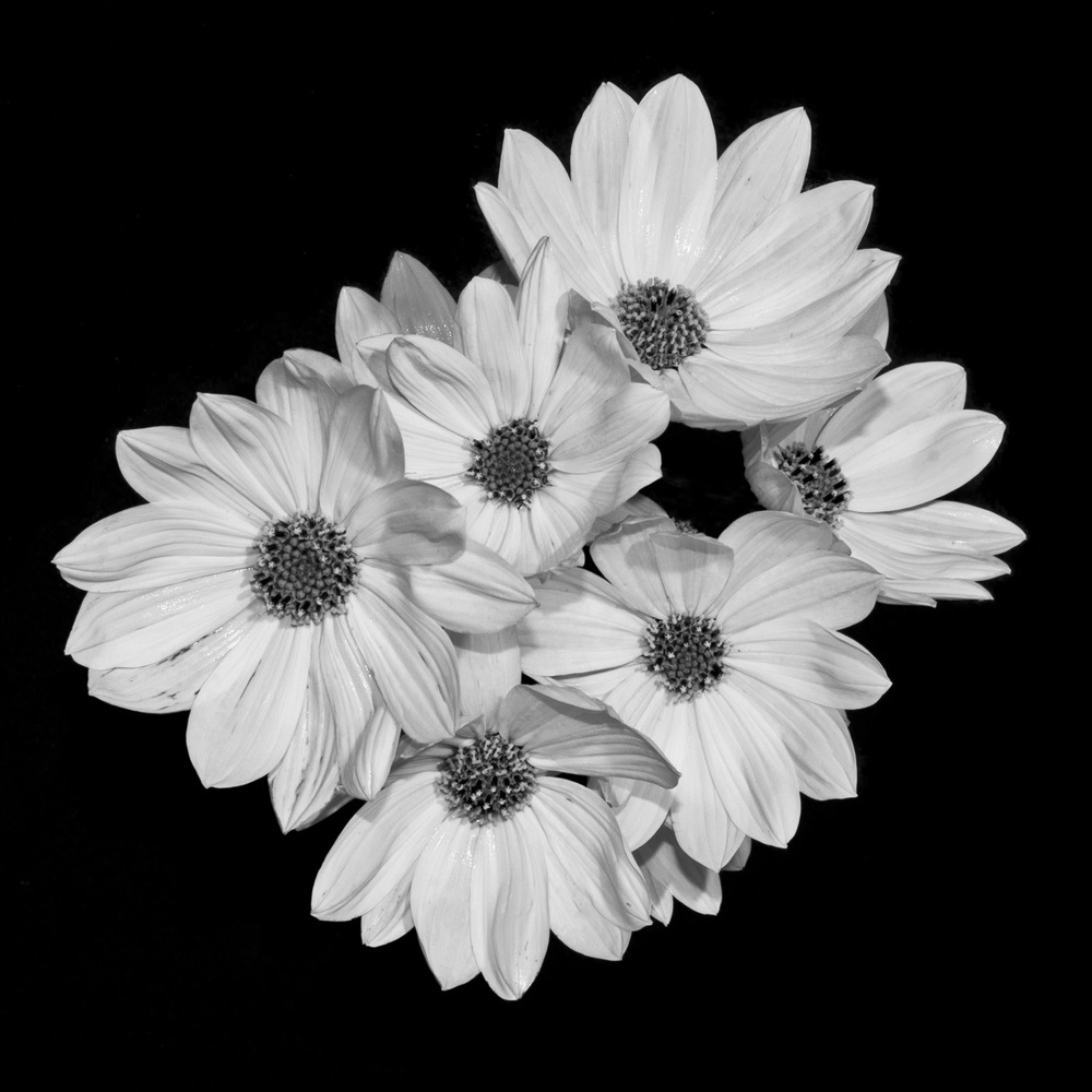 Asteraceae.jpg