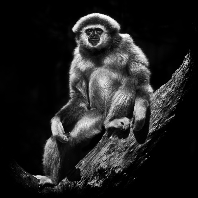 Lar Gibbon.jpg