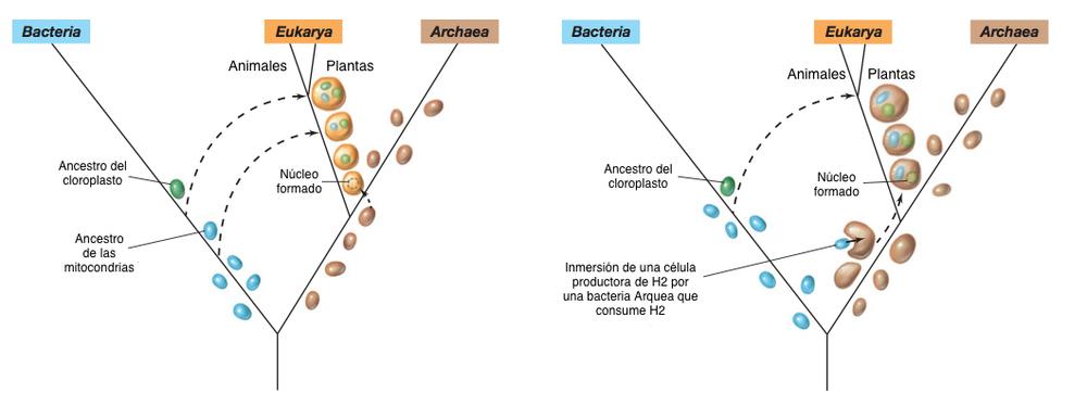Figura 1. Modelos endosimbioticos del origen de la célula eucariota.