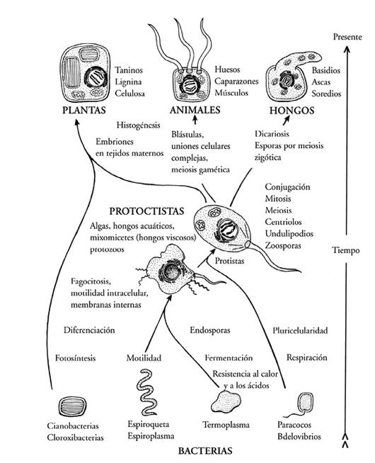 Figura 2. Arbol filogenético de células eucariotas.