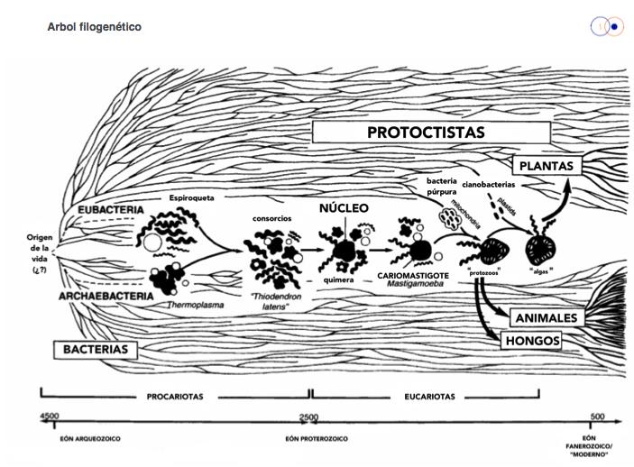 Figura 3. Origen filogenético de las células nucleadas.