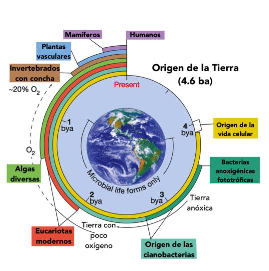 Figura 4. Evolución de la vida en la tierra. La principio la atmósfera no era tal como la conocemos ahora, el ambiente sin oxígeno era predominante. Las cianobacterias contribuyeron para que la atmósfera actual tenga la concentración de un 20 % de oxigeno. Los microbios contribuyeron para permitir la vida en la tierra.