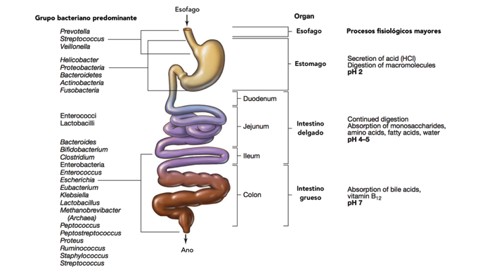 Figura 1. Microbios presentes en el tubo digestivo