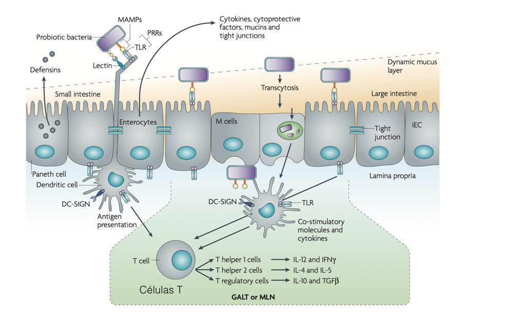 Figura 3. Barrera intestinal, receptores TLR, y células inmunes.