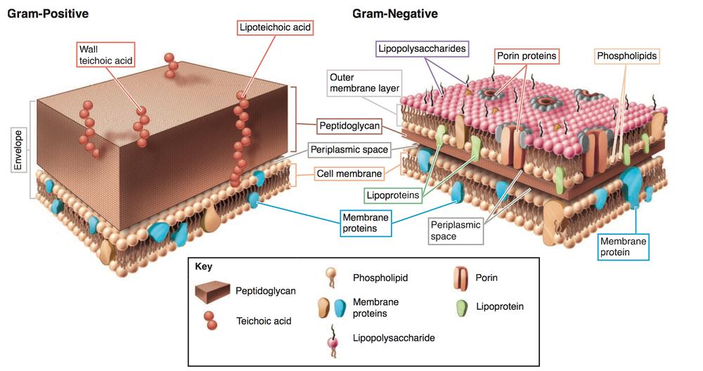las bacterias de gram positiva: