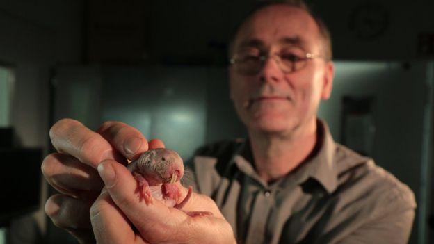 Los ratopines rasurados sobrevivieron en condiciones que matarían a otros mamíferos y a los seres humanos.