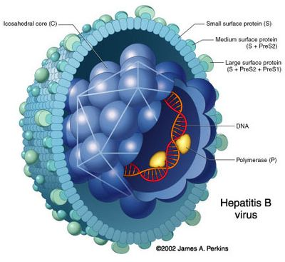 Hepatitis-B.jpg