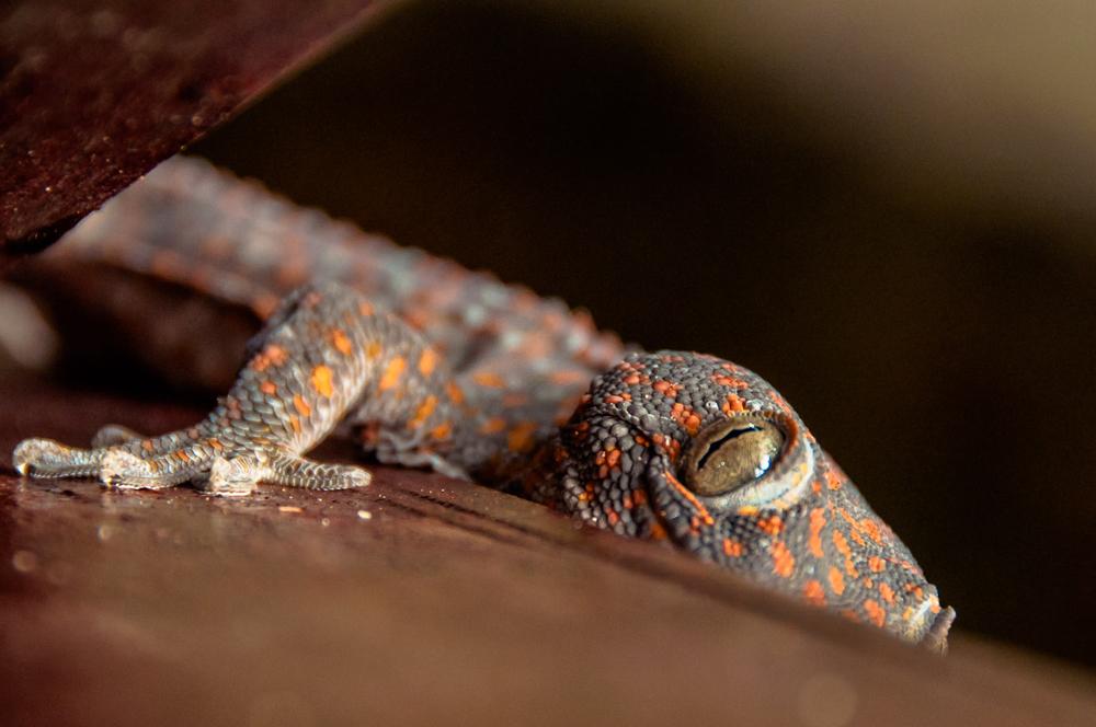 Reptilian Peek-a-boo - Malaysia