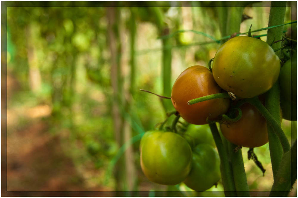 """Tomatoes"" - Couchsurfing With an Organic Farmer in Malaysia"