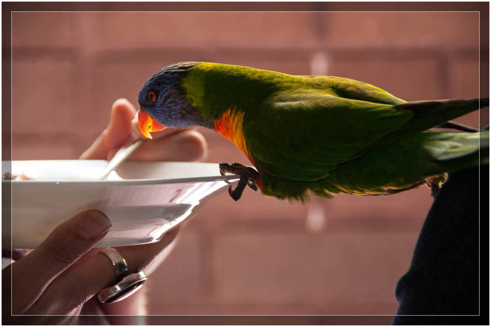 """A Lorikeet at Breakfast"" - Sydney, Australia"