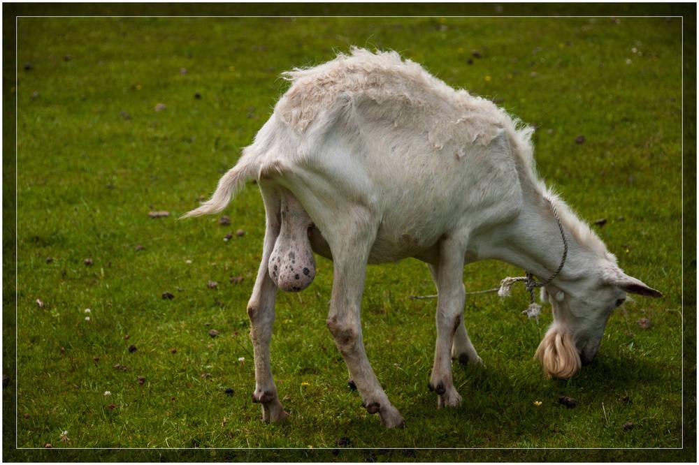 Virile Goat @ Gaalburn Cheese Cheesery & Dairy Goat Farm near Greymouth, New Zealand.