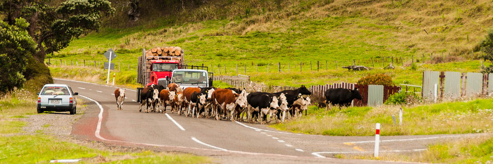 A kiwi traffic jam.  East coast, New Zealand
