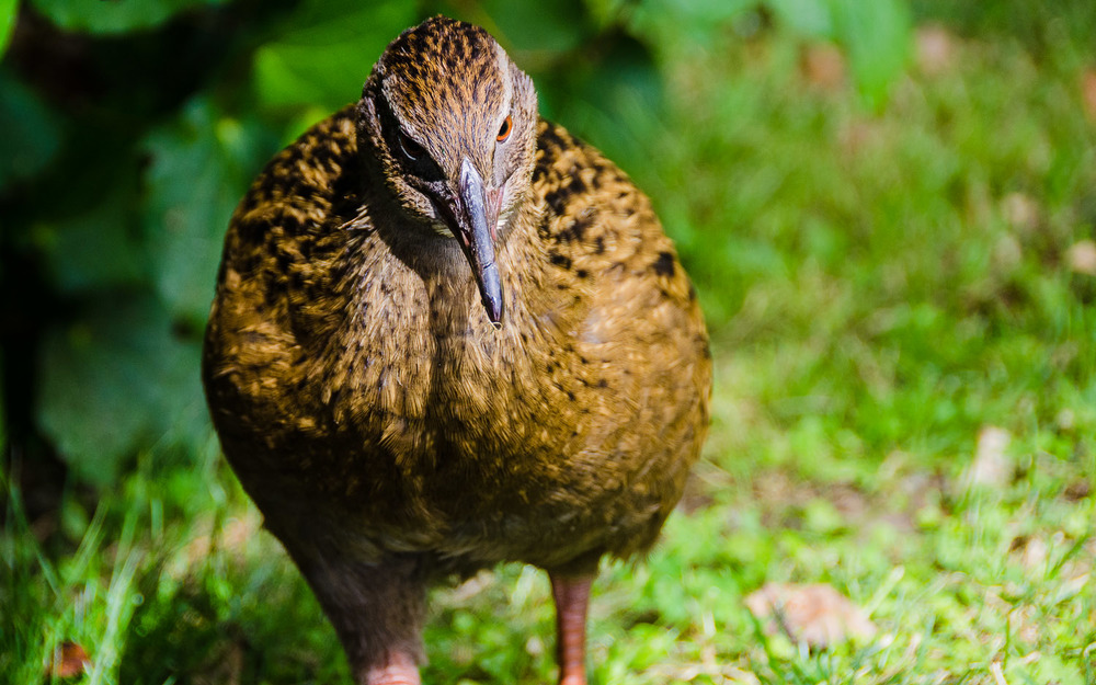 "A cheeky weka comes in for a closer look along the Queen Charlotte Trail, one of New Zealand's ""Great Walks""  © Dustin Main 2013"