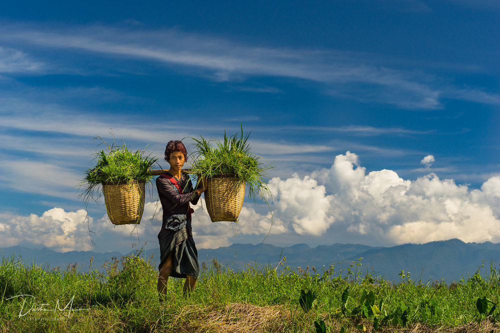 Soe Aung collecting grass for his cow on the edge of Inle Lake, Myanmar. © Dustin Main 2016