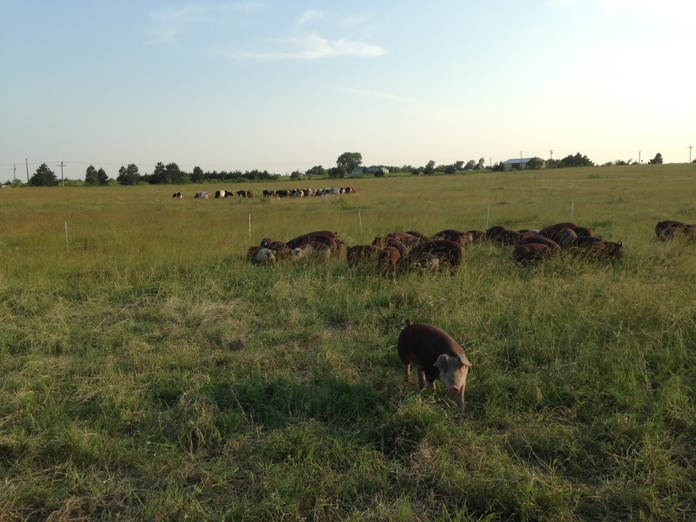 Multi-species grazing in action.  Our dairy herd is in the background.