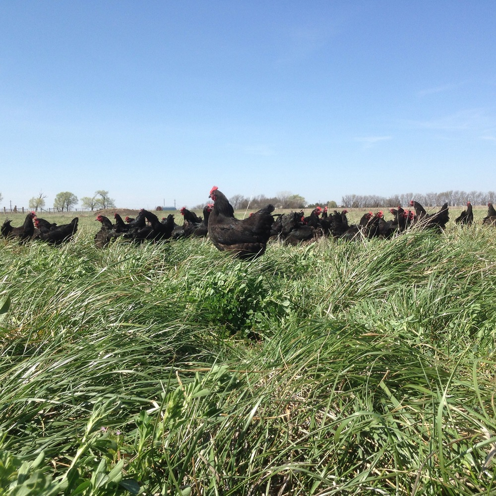 Our Black Australorp hens.