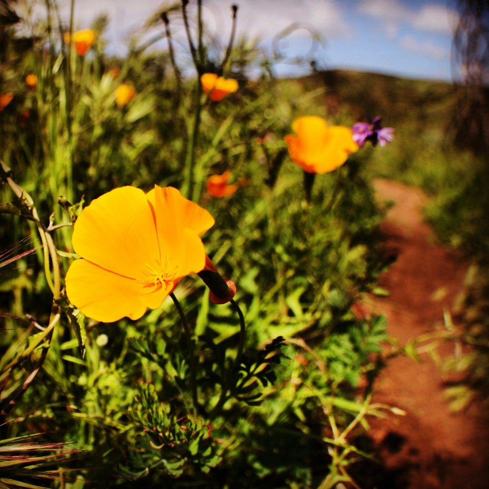 California Poppies, Oak Canyon, Mission Trails Regional Park