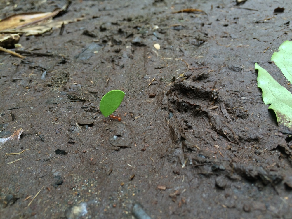 Leafcutter ants, Tortuguero National Park
