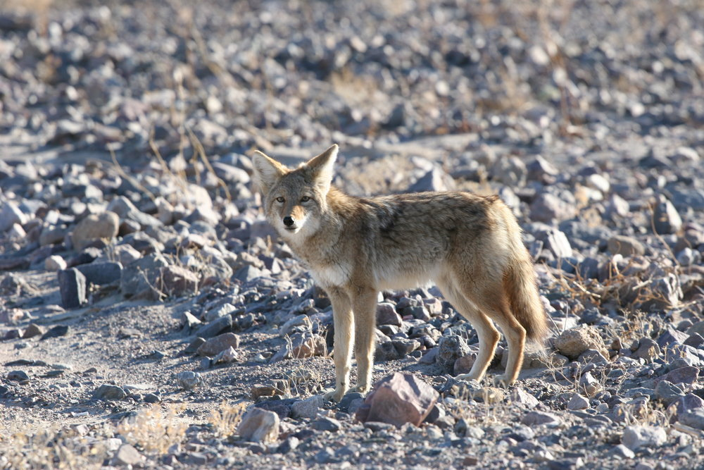 Even though Death Valley is a hostile environment, it also is full of wildlife who have adapted to the desert climate.