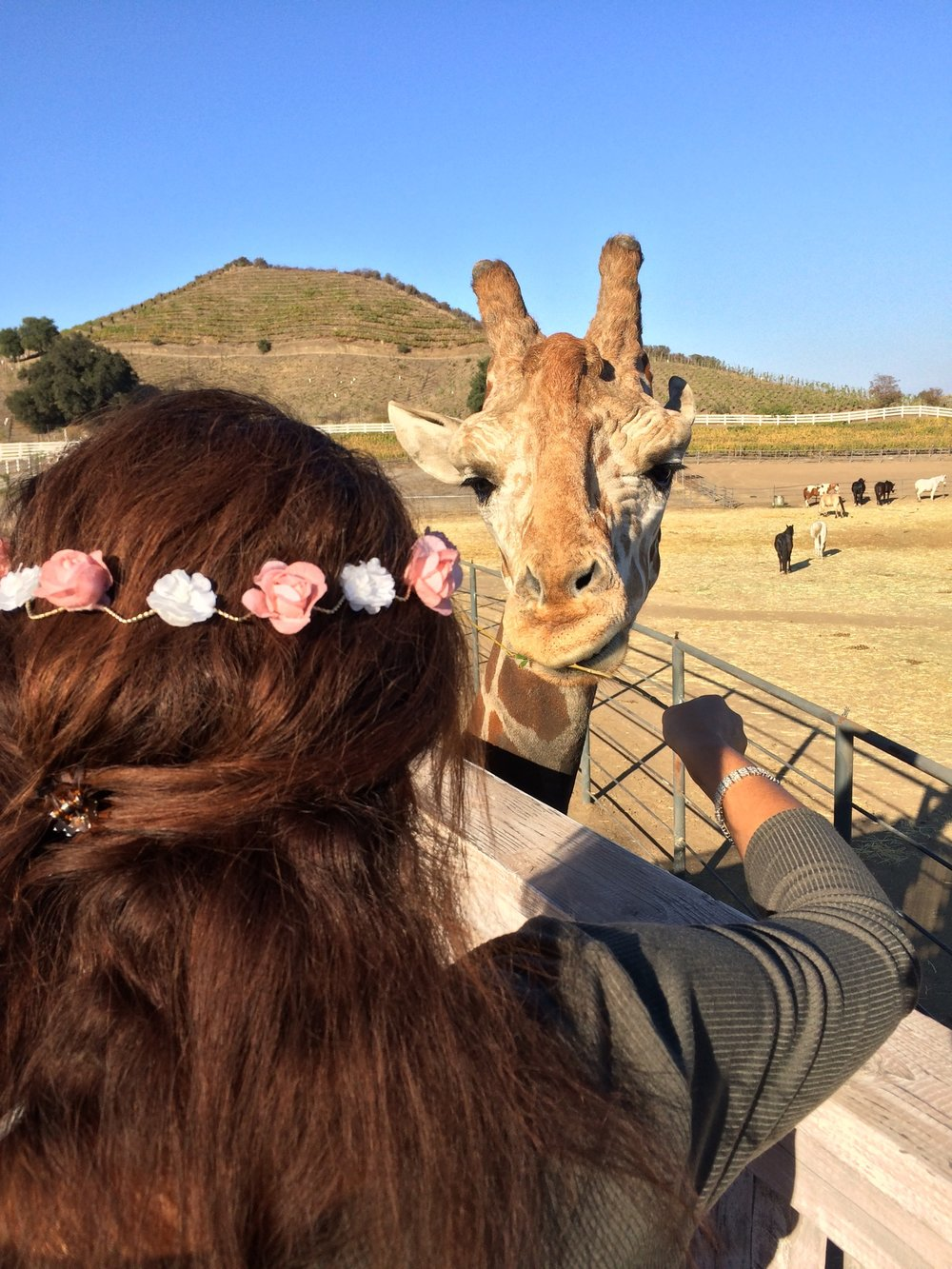 Stanley, the Giraffe is a celebrity in his own right, an a must-visit on a Malibu Wine Hike