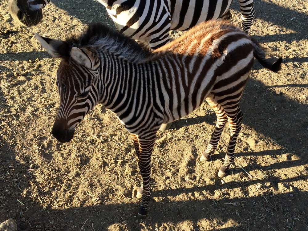 In addition to Stanley, Saddlerock Ranch has zebras, llamas, and camels that one can see on a hike.