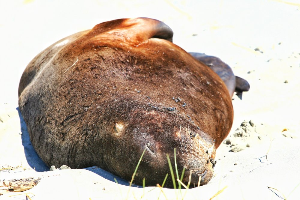 Sea Lions are wild animals who should not be bothered. This picture was taken from a far distance with a long long lens.