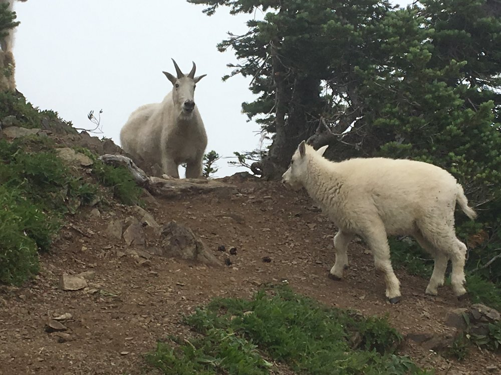 Once past the last section of slope, but before the summit of Ellinor, hikers will have ample opportunities to see mountain goats.