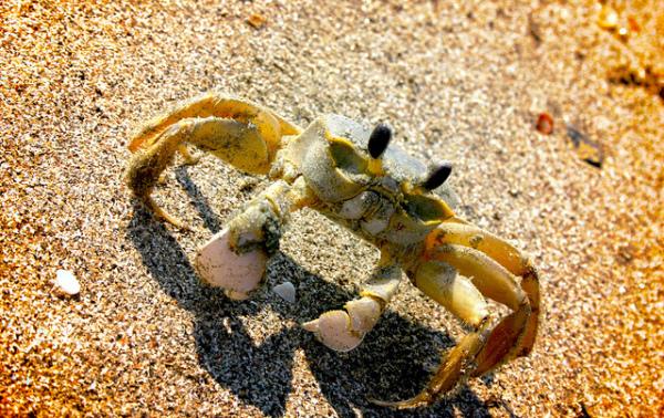 Angry_Crab.jpg