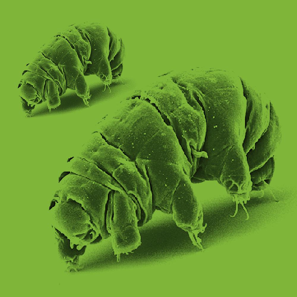 Tardigrade,  Original image, CC 2.5
