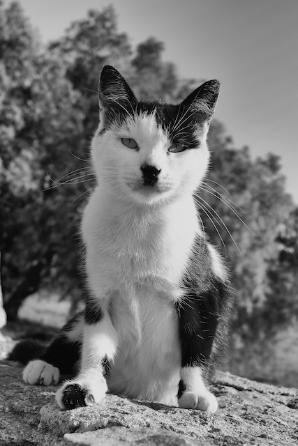 Hitler the Cat, photographed yesterday morning, on his very own wall looking out to the blue Aegean and the distant island of Delos. He's nothing like fluffy OmniLotus, but a lovely puss nonetheless. Below: Hitler Cat's view of the Aegean (Photos: Mike Evans, Leica X2)