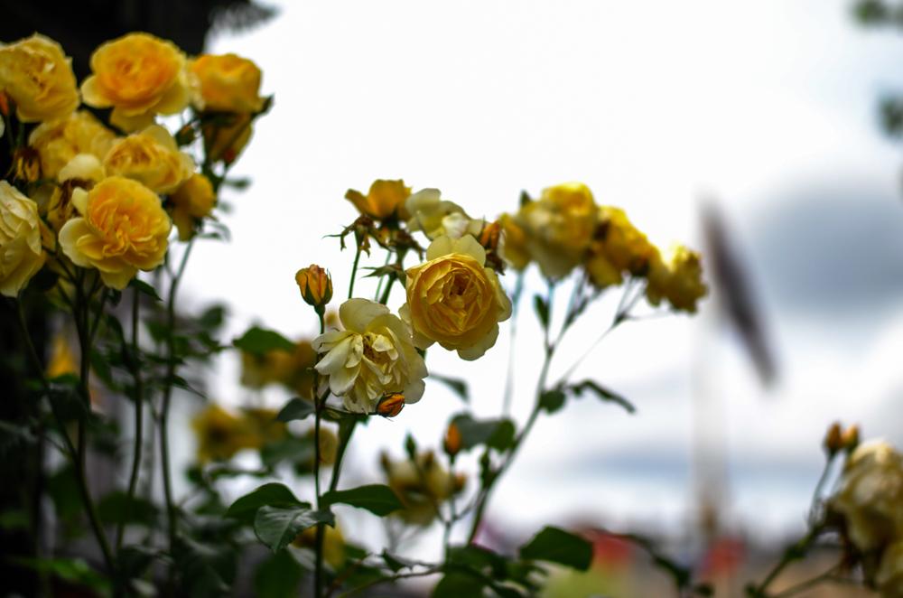 Roses, f/1.4