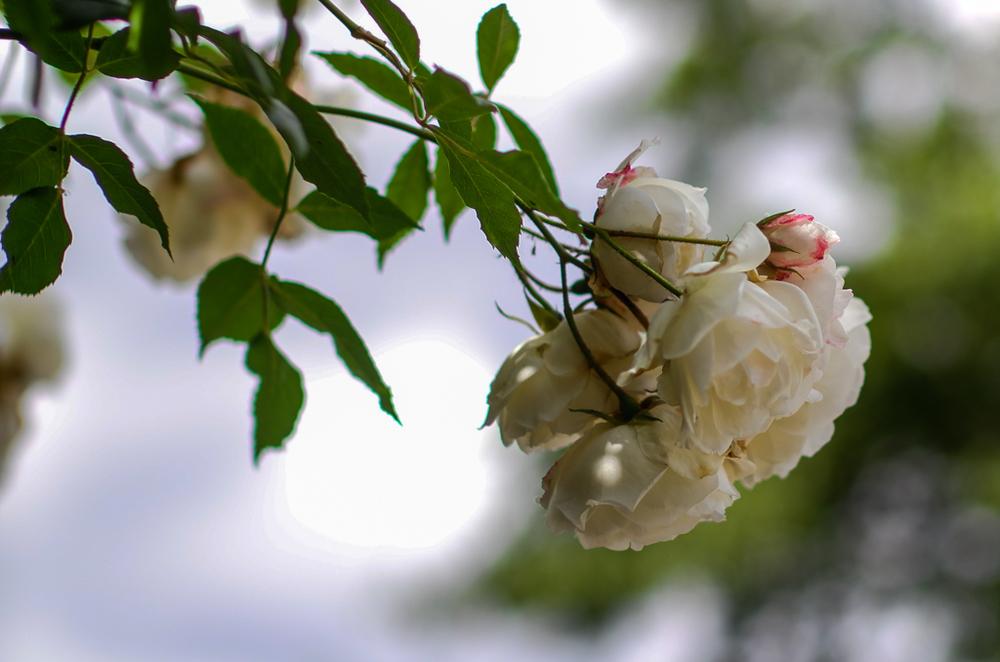 Roses, f/2.8
