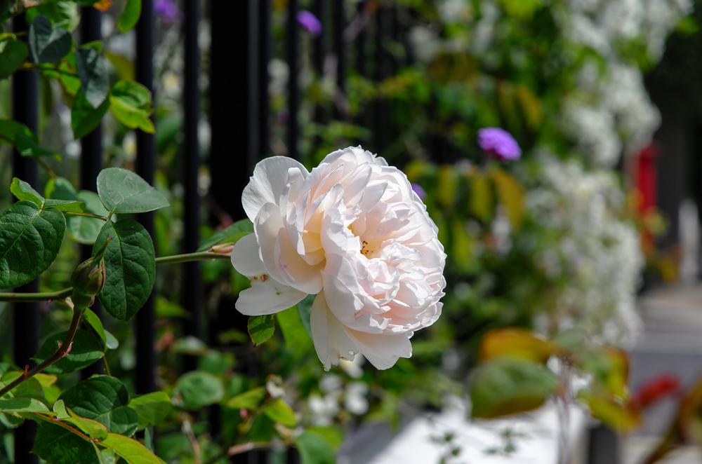 Rose, 85mm, ISO 100